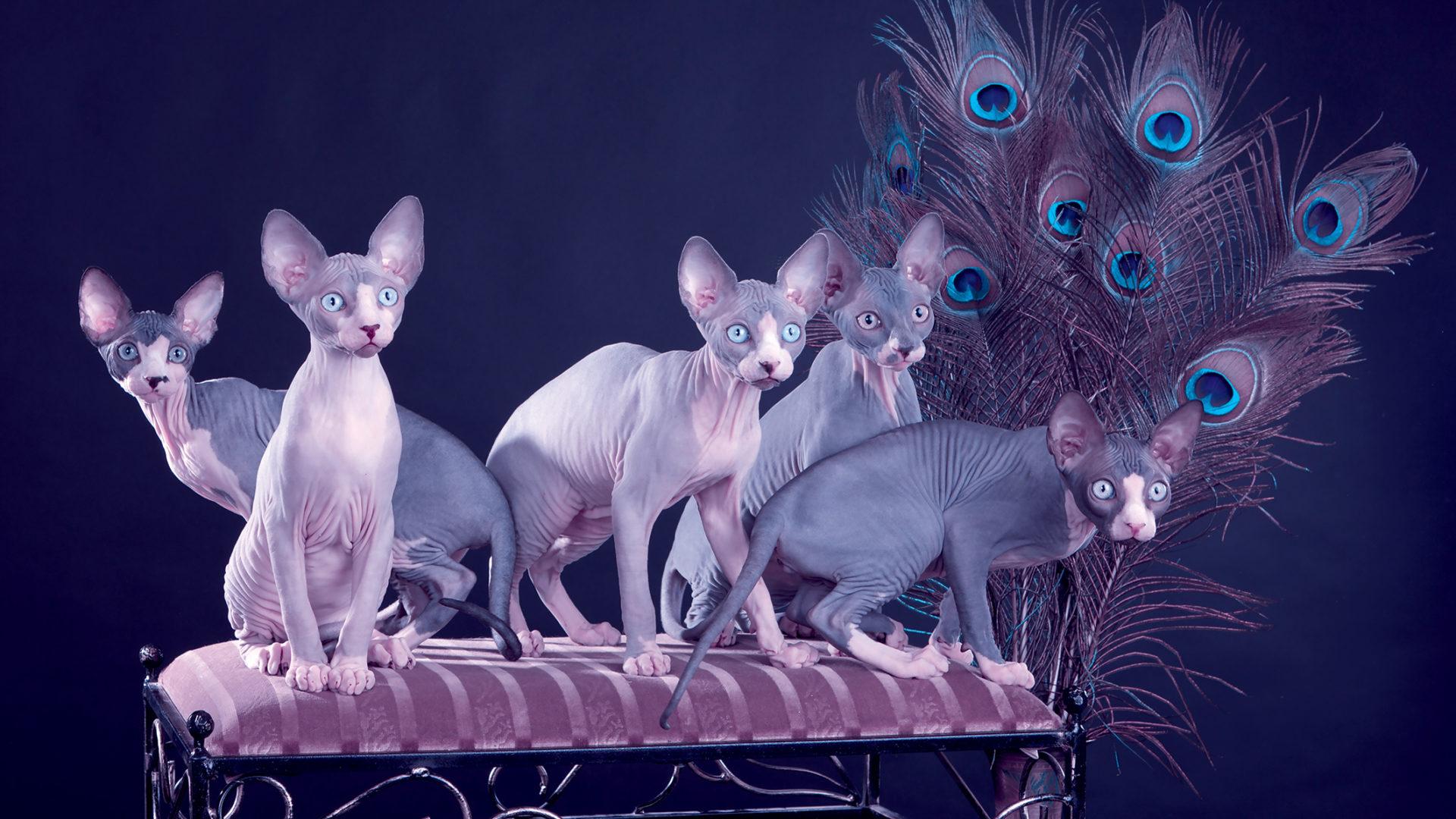 Five sphynx kitten