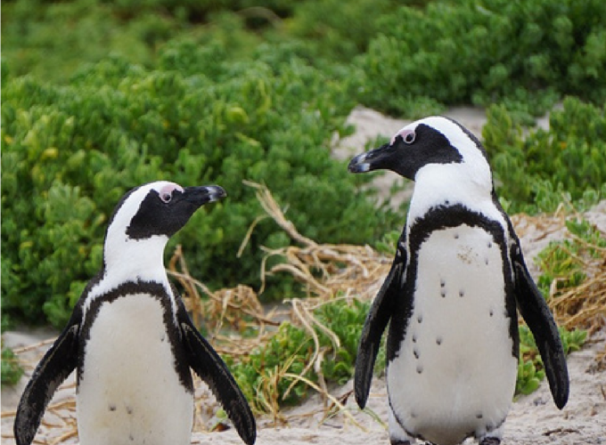 Pinguoins1